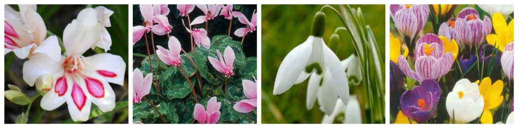 fleurs de l'hiver à planter au printemps