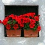 geranium balcon