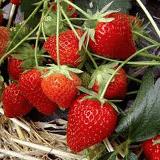 fraises-planter-balcon