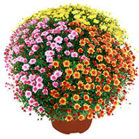 chrysanthèmes pas chers