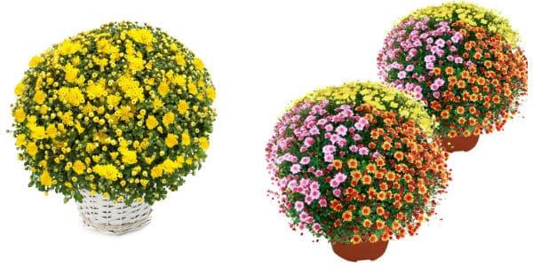 Chrysanthèmes les moins cher pour la Toussaint