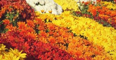 Chrysanthèmes de La Toussaint